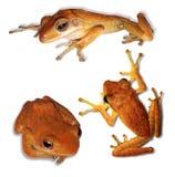 Изолированные тропические лягушки Стоковые Изображения
