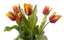 изолированные тюльпаны Стоковая Фотография