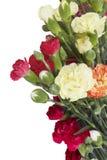 Изолированные цветки гвоздики Стоковое Изображение