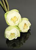 Изолированные цветки лотоса Стоковая Фотография RF