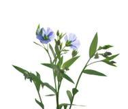 Изолированные цветки льна стоковое фото