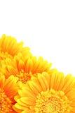 изолированные цветки предпосылки Стоковое Изображение
