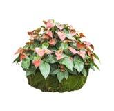 Изолированные цветки Anthrium или фламинго стоковое фото