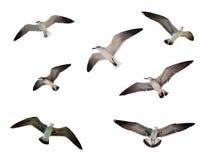 изолированные чайки летая стоковые изображения