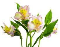 изолированные lillys Стоковые Фотографии RF