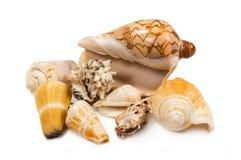 изолированные seashells Стоковое Фото