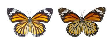 Изолированный взгляд Dorsal и живота общей бабочки Danau тигра Стоковое Изображение RF