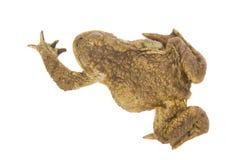 Изолированный вползать животного лягушки стоковое фото rf