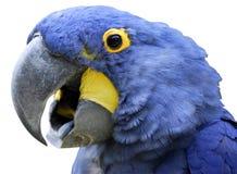изолированный гиацинтом портрет macaw стоковое фото rf