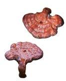 изолированный грибок Стоковая Фотография RF