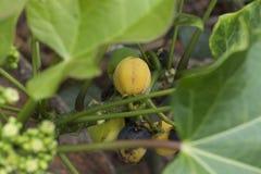 Изолированный желтый одичалый плодоовощ стоковая фотография rf