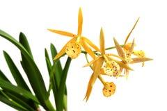 изолированный желтый цвет орхидеи белый Стоковая Фотография RF