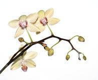 изолированный желтый цвет орхидеи Стоковые Фото