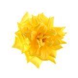изолированный желтый цвет розы Стоковое Фото