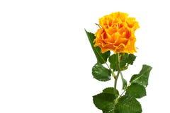 изолированный желтый цвет розы Стоковая Фотография