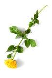 изолированный желтый цвет розы Стоковые Фотографии RF