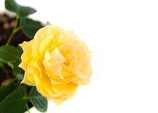 изолированный желтый цвет розы Стоковое фото RF