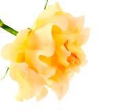 изолированный желтый цвет розы Стоковые Изображения RF