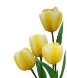 изолированный желтый цвет тюльпанов Стоковое Изображение RF