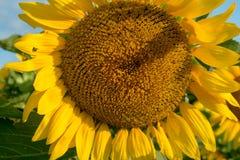 Изолированный зацветая солнцецвет под солнцем раннего утра стоковое фото