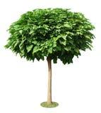 Изолированный зеленый вал Стоковое Изображение