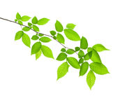 изолированный зеленый цвет ветви Стоковое Изображение RF