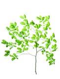 изолированный зеленый цвет ветви Стоковая Фотография