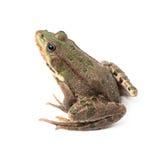 изолированный зеленый цвет лягушки Стоковые Изображения