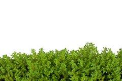 изолированный зеленый цвет папоротника Стоковая Фотография