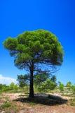 изолированный зеленым цветом вал сосенки Стоковая Фотография RF