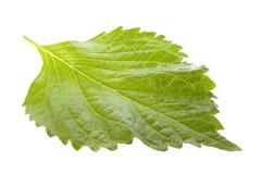 изолированный зеленым цветом perilla листьев стоковая фотография