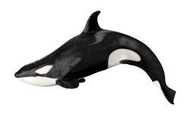 изолированный кит убийцы Стоковая Фотография