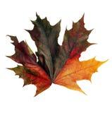 Изолированный кленовый лист   Стоковые Фотографии RF