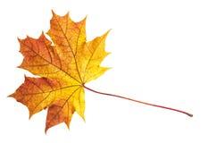 изолированный клен листьев Стоковое фото RF