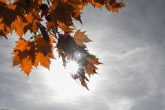 изолированный клен листьев Стоковое Изображение RF