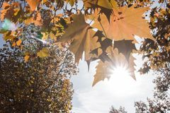 изолированный клен листьев Стоковая Фотография