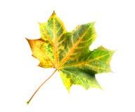 изолированный клен листьев Стоковые Изображения