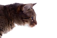 изолированный кот Стоковое Изображение RF