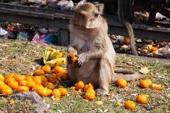 Изолированный краб обезьяны есть макаку, fascicularis Macaca любит tangerines в Lopburi, Таиланде стоковое фото rf