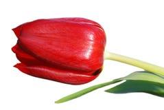 изолированный красный тюльпан стоковое изображение rf