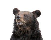 Изолированный медведь стоковое изображение