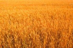 изолированный полем желтый цвет пшеницы Стоковое фото RF