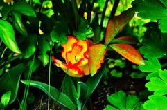 Изолированный портрет цветка макроса натюрморта изящного искусства яркий красочный одиночного стоковое фото