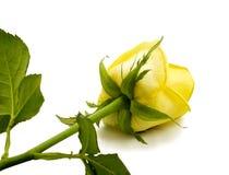 изолированный предпосылкой желтый цвет розы белый Стоковая Фотография