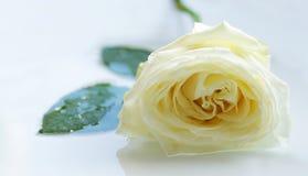 изолированный предпосылкой желтый цвет розы стоковые изображения