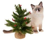 изолированный рождеством вал ragdoll котенка стоковые фотографии rf