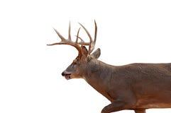 изолированный самец оленя Стоковые Фотографии RF
