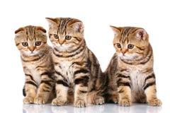 Изолированный сидеть 3 шотландский котят, на белизне Стоковые Изображения
