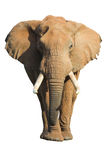 изолированный слон Стоковые Фото