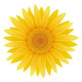 изолированный солнцецвет Иллюстрация вектора